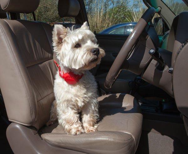 Bertie in the Driving Seat