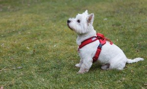 Bertie-Harness