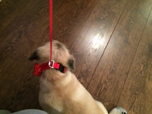 The Doddle dog collar in action!