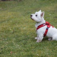 Bertie with Doddle Dog Pod for Harnesses