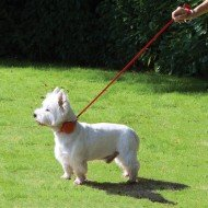 Bertie with Doddle Dog Collar and lead Extended