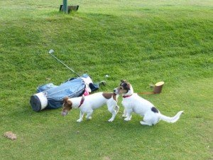 Jack Russells, Leads, Golf – dogs on course