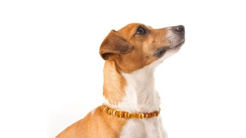Dog Amber Necklace