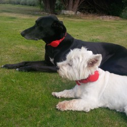 Bertie and Jack both wearing a Doddle dog collar