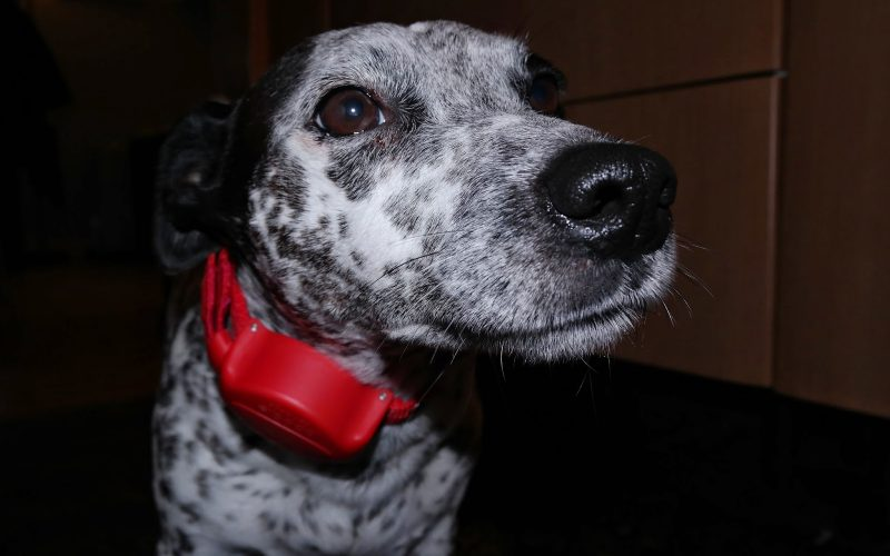 Doddle Dog Collar Review- Ramblings of Geo