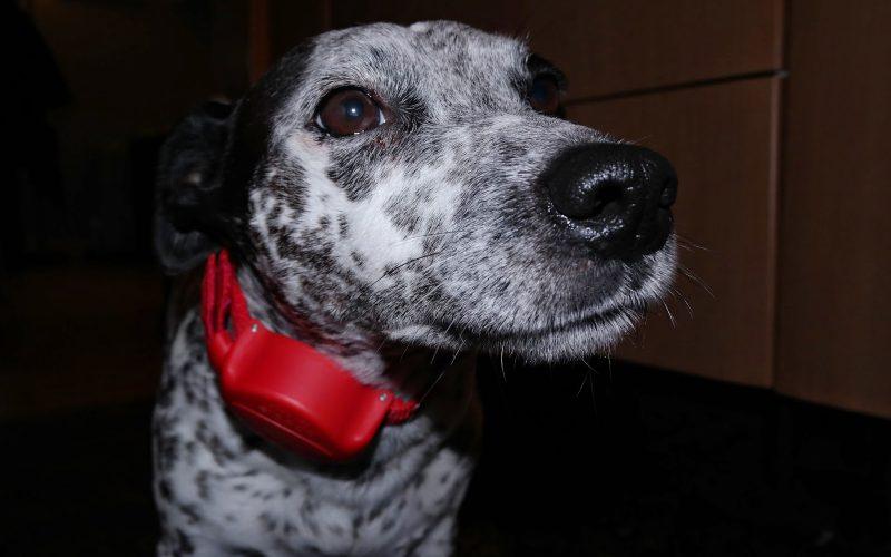 Doddle Dog Collar Review- Ramblings of Geo